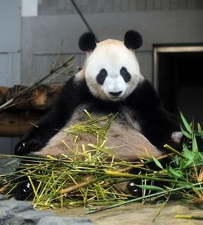 パンダのシンシン<上野動物園公式サイトより>